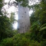 Tane Mahuta en el bosque Waipoua